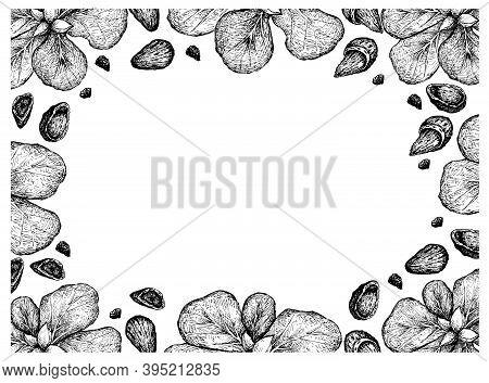 Illustration Frame Of Hand Drawn Sketch Of Almond Nuts And Terminalia Catappa Or Malabar Almonds Fru