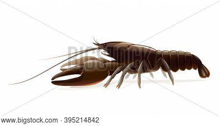 Realistic Broad-fingered Crayfish Isolated Illustration, One Big Freshwater Noble Crayfish On Side V