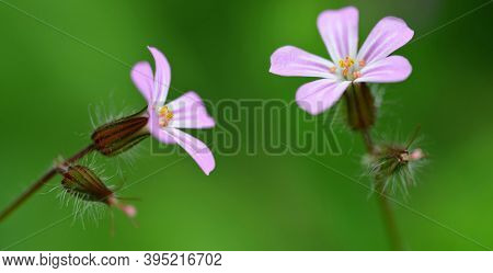 Beautiful purple flower Herb-Robert or Death Come Quickly ( Geranium Robertianum ) close up on green nature background.