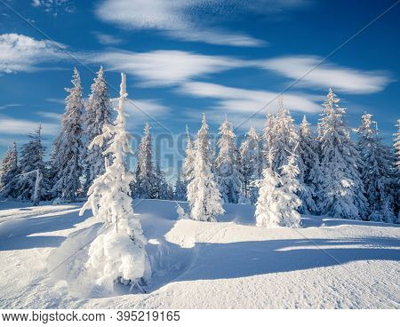 Impressive winter spruces in snow on a frosty day. Location place Carpathian mountains, Ukraine, Europe. Wintry wallpapers. Christmas holiday concept. Happy New Year! Discover the beauty of earth.