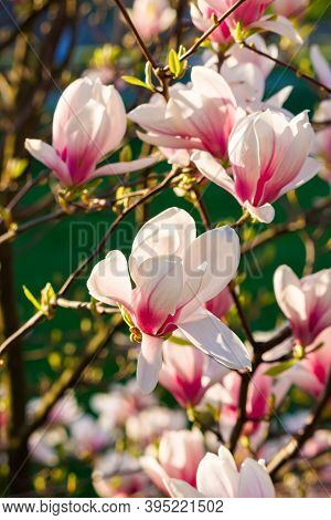 Pink Magnolia Blossoms In Morning Light. Beautiful Nature Background In Springtime. Bright Sunny Day