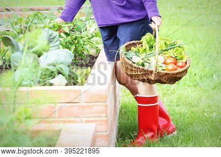 Woman Gardener Picking Vegetables .raised Beds Gardening In An Urban Garden Growing Plants Herbs Ber