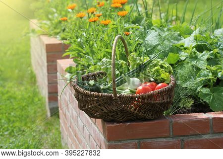 Basket With Vegetables. Raised Beds Gardening In An Urban Garden Growing Plants Herbs Berries And Ve