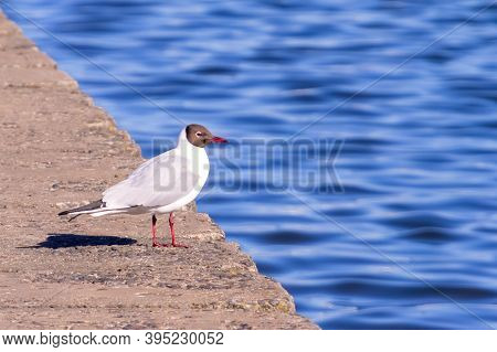 Black-headed Gull Close-up In Front Of Lake. Selective Focus