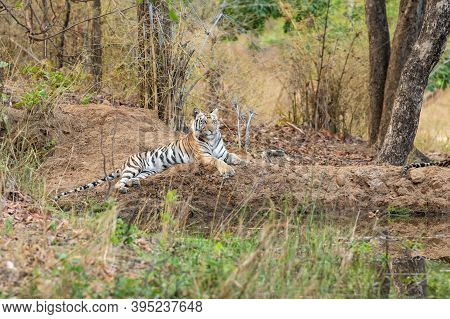 Wild Tigress Resting In Natural Settings At Tala Zone Of Bandhavgarh National Park Or Tiger Reserve