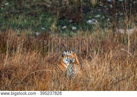Watchful Protective Mother Tigress With Her Cub At Grassland Area Of Dhikala Zone Of Jim Corbett Nat