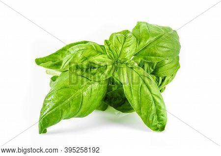 Fresh Basil Leaf Isolated On White Background. Basil Herb