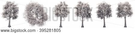 Set or collection of drawings of Oak trees isolated on white background . Concept or conceptual 3d illustration for nature, ecology and conservation, strength and endurance, force and life