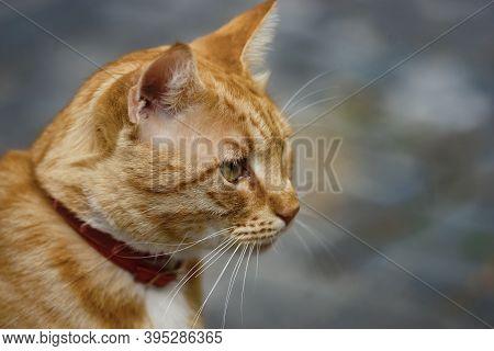 Bucharest, Romania - October 26, 2020: An Orange Tabby Cat, On A Street In Downtown Bucharest.