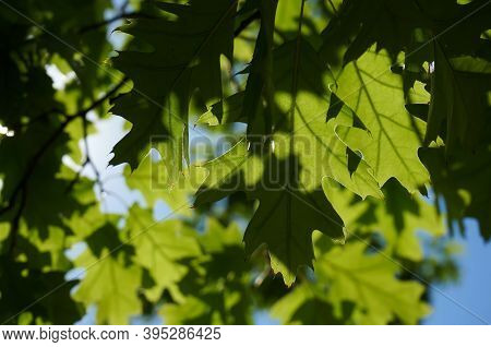 Bucharest, Romania - September 01, 2020: Oak Trees Leaf On A Sunny Day In A Park In Bucharest.