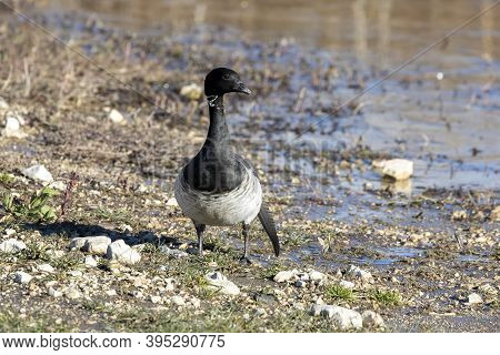 Brant. Smaller Species Of Goose. Scene From Conservation Area Of wisconsin During Migration With D