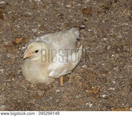 A Baby Broiler Chicken At An Indoor Chicken Farm Taken At Night