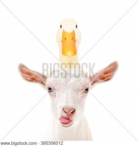 Portrait Of Funny Goat Showing Tongue With Duck On Head Isolated On White Background