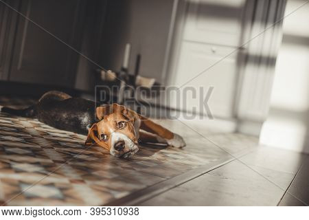Beagle Puppy At Home. Purebred Puppy, The Dog Is Played On The Floor In The Sun.