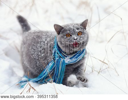 Meowing Cat Wearing Scarf Walking On The Snow