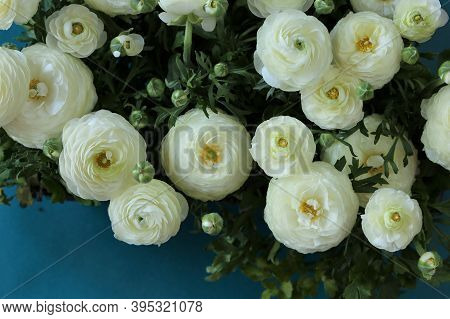 White Ranunculus Flower.buttercup Flowers.white Ranunculus Flowers Set On A Bright Blue Background.f