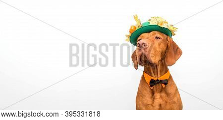 Hungarian Vizsla Dog In A Green Hat With Autumn Foliage And Small Pumpkins And A Bow Tie For Thanksg