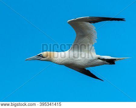 A Northern Gannet (morus Bassanus) In Flight On A Sunny Day Summer, Blue Sky, Les Sept Iles, Brittan