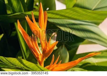 Beautiful Heliconia Or Bird Of Paradise Tropic Flower