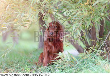 Portrait Of Sitting Red Irish Setter Breed Dog At Nature Hiding Under Bush Leaves