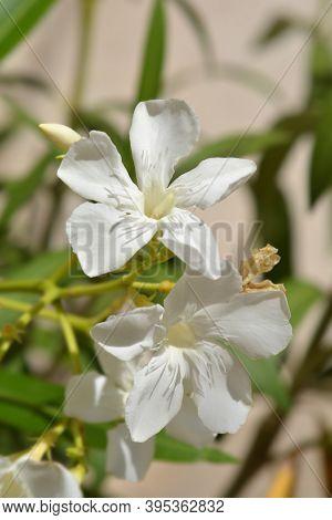 Common Oleander White Flowers - Latin Name - Nerium Oleander