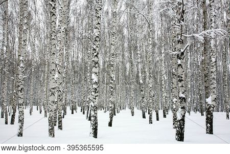Trunks Of Snow-covered Birches In White Snowdrifts In February Weather Black And White