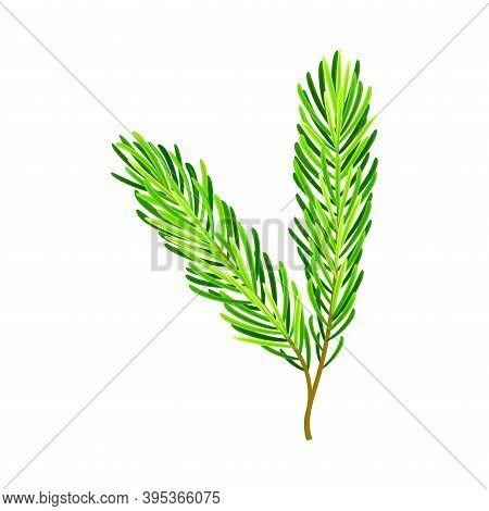 Evergreen Pine Tree Branch With Needle Leaves Vector Illustration