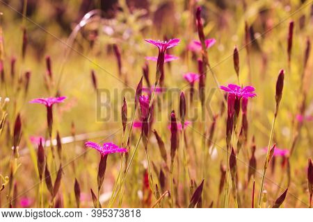 Dianthus Borbasii Vandas, Dianthus Deltoides Blooming In The Meadow. Meadow Flowers. Maiden Pink Flo