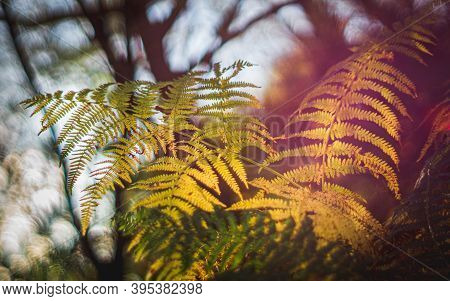 A Vibrant And Colourful Backlit Bracken Fern Frond Growing Out Of The Ground At Sunset In Surrey, En