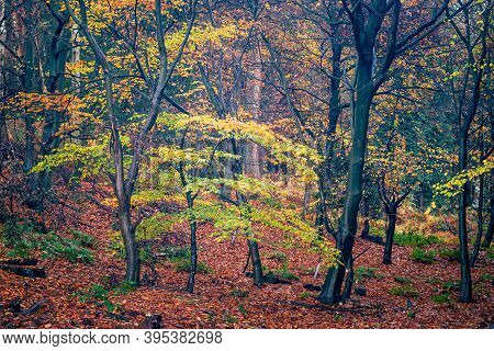 Wet Woodland Tree's With Spectacular Autumn Colours In Chantry Woods Near Guildford, Surrey