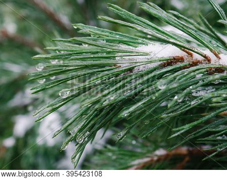 Ice Covered Pine Branches In Winter. Blurred Fir Tree Branches Covered With Snow. Winter Snowy Pine