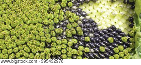 Seeds Of Sunflower, Close Up. Abstract Nature Texture Background.