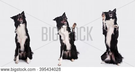 Full Length Portrait Of A Cheerful Purebred Border Collie Dog Looking Up Isolated On White Backgroun