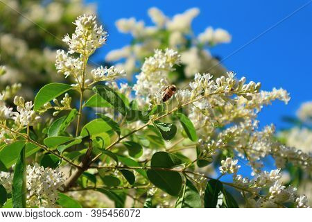 European Privet (or Wild Privet) Ligustrum Vulgare Blooming Shrub. Bee Pollinates White Flowers.