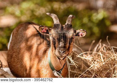 Image Of Close-up Portrait Of A Goat