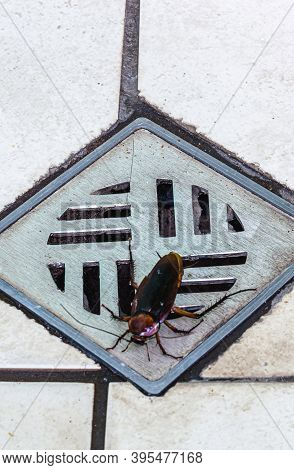 Cockroach Entering A Dirty Bathroom Drain. Poor Hygiene, Problem With Pests And Insects At Home
