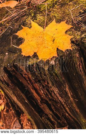 Yellow Maple Leaf On A Rotten Decrepit Mossy Stamp In Autumn Forest.