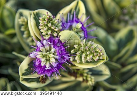 Close Up Shrubby Veronica Plants And Flowers In Nature