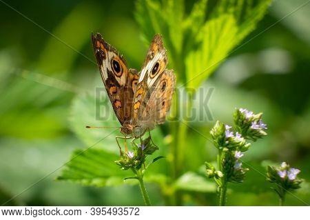 A Common Buckeye Butterfly (junonia Coenia). Raleigh, North Carolina.