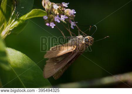 Ocola Skipper (panoquina Ocola) Partaking Some Nectar. Raleigh, North Carolina.