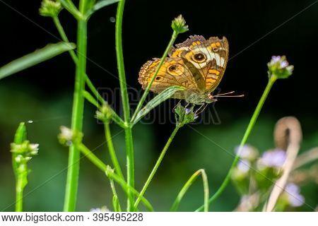 A Common Buckeye Butterfly (junonia Coenia) Perches On A Bloom. Raleigh, North Carolina.
