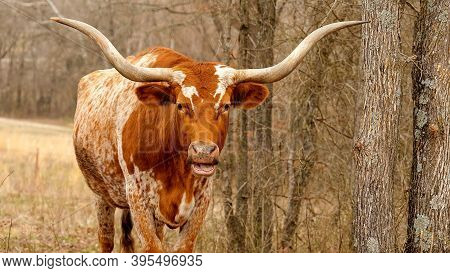 Texas Longhorn Beef Cattle Cow, Bos Taurus, With Brown And White Speckle Colors And Typical Long Hor