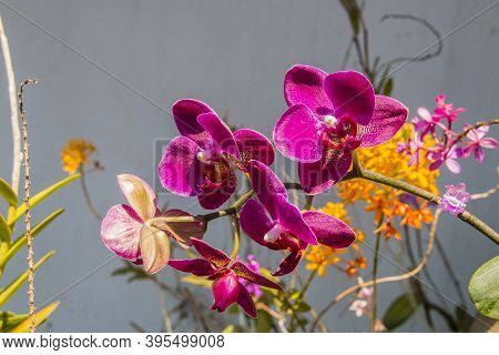 Stem Of Purple Phalaenopsis Orchids With Yellow Epidendrums In Background