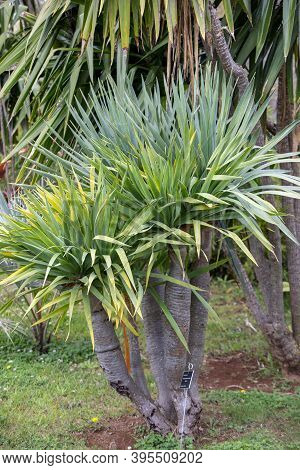 Three Branches Of A Dragon Tree Also Known As Dracaena Draco Or Drago