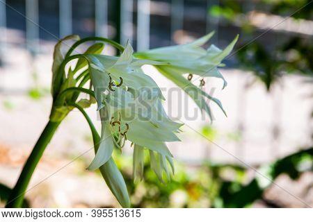 Crinum Latifolium Or Crinum Broadleaf White Flower On A Bush In A Park.