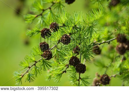 Pine Cones On Branches Lit By Sunny Rays. Brown Pine Cone Of Pine Tree. Growing Cones Close Up. Larc