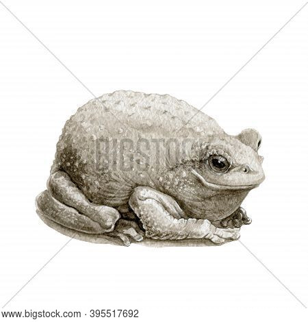 Common Cute Toad Or Frog Watercolor Illustration. Close Up Amphibia Graphic Image. Single Frog Eleme
