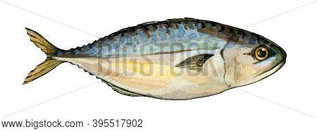 Mackerel Fish Watercolor Illustration. Fresh Sea Tasty Bonito. Raw Catch Of Sea Fish Image. Healthy