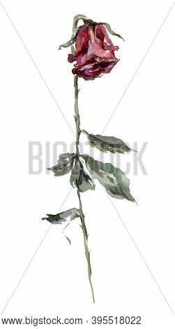 Dry Red Rose With Leaves Watercolor Illustration. Hand Drawn Dehydrated Dried Flower On The Stem. Re