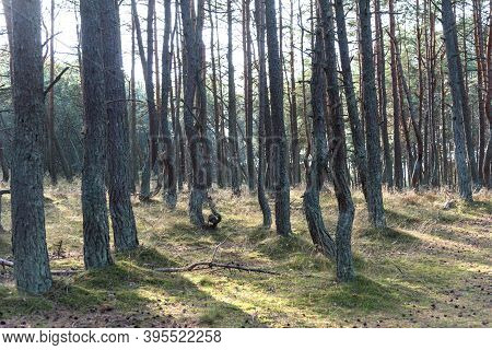 Dancing Forest On The Curonian Spit In The Kaliningrad Region, Russia. Pine Forest With Unusually Tw